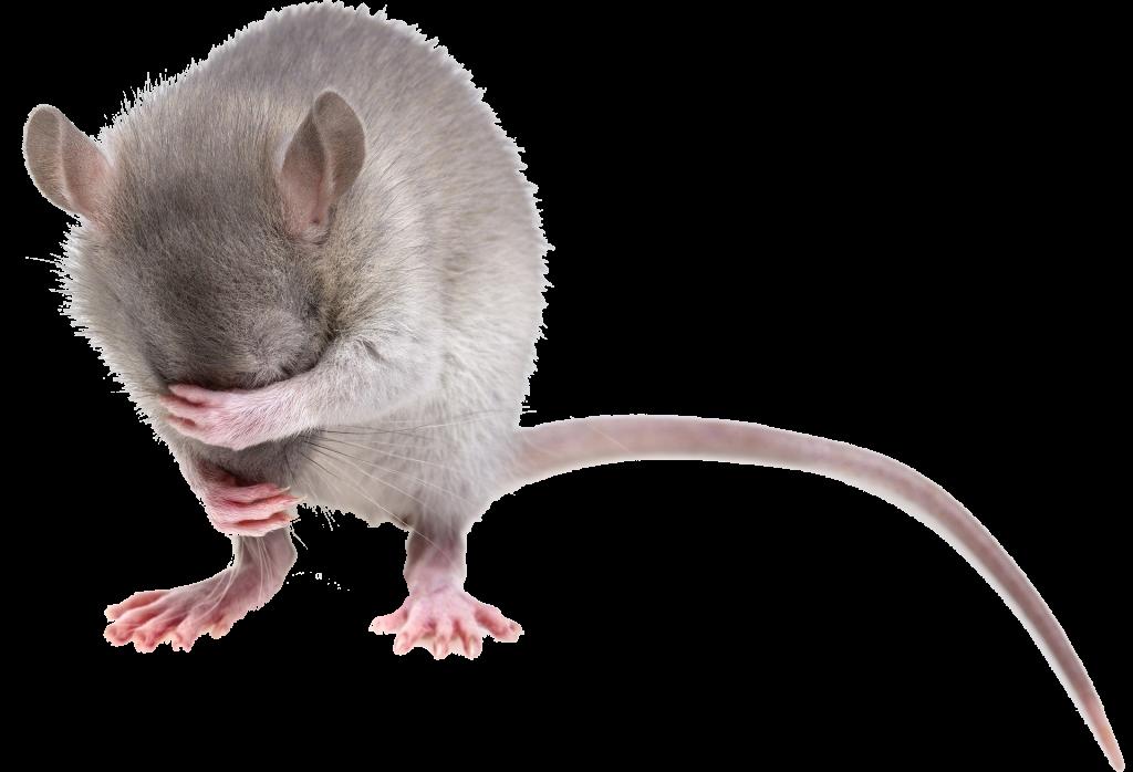 dierenkliniek_oog_in_al_utrecht_knaagdier_knaagdieren_rat_muis